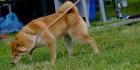 Mitä tiedät koiraroduista?