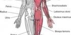 Anatomian perusteet 1