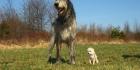Jätti kokoiset koirat