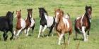 Tiedätkö kaiken ystävistämme hevosista