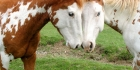 Hevoset ja Ponit Tietovisaa