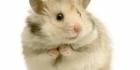 Hamsteri - visa